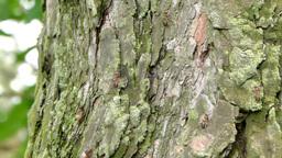 Ants on the tree (Formica rufa) Footage