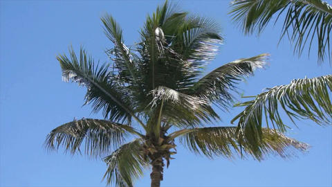 caribbean palm tree Footage