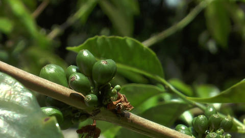 Coffee Beans Maturing On Tree stock footage