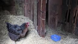 Hen in the chicken coop 1 Live Action