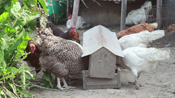 Chickens on farm Live Action