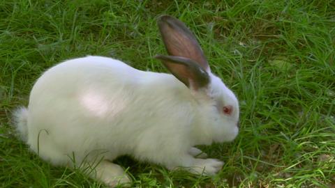 white rabbit 01 Footage