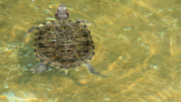 SWIMMING TURTLE stock footage