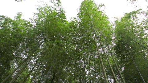 Bamboo forest Stock Video Footage