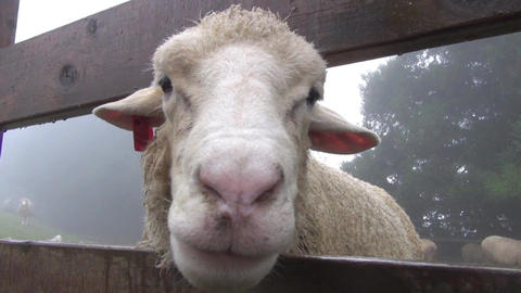 close up face of sheep Footage