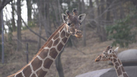 Giraffe in Tama Zoo,Tokyo,Japan Footage