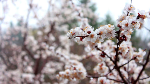 Tree Flowers In Rain stock footage