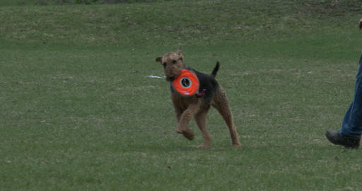 Dog running with frisbee in his mouth Footage