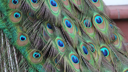 The Peacock's Tail 2 stock footage