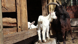 Young baby goat with her mother Footage