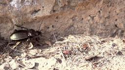 Large Beetle Footage
