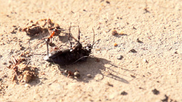 Ants Attack Footage