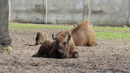 European bison (Bison bonasus), wisent 2 Footage