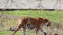 Tiger walking Footage