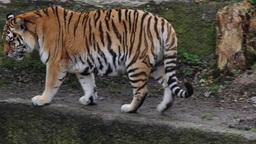Tiger walking 2 Footage