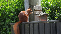 Brown squirrel waiting for the right moment Footage
