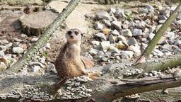 Meerkat. Suricate. Suricata suricatta Footage