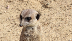 Meerkat. Suricate. Suricata suricatta. Close up Footage