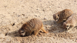 Meerkats searching for food. Suricata suricatta Live Action