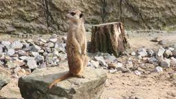 Meerkat. Suricata suricatta Footage