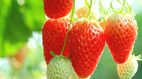 Ripe Strawberry stock footage
