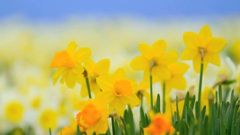 Flowering daffodils ライブ動画