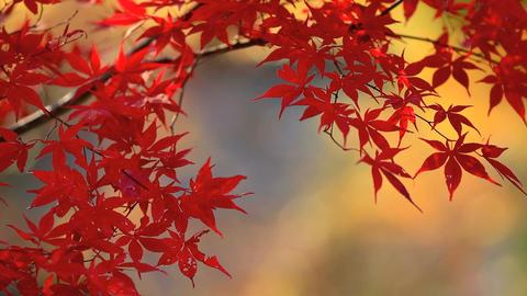 Autumn red maple leaves ライブ動画