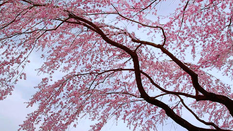Blossoming cherry tree against the evening sky Footage