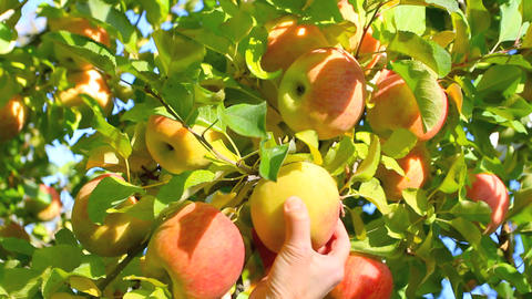 Hand Picking An Apple From A Tree stock footage