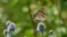 Butterfly. Painted Lady. Vanessa cardui. 2 Live Action
