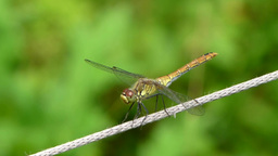 Talking dragonfly. Yellow-winged darter Footage