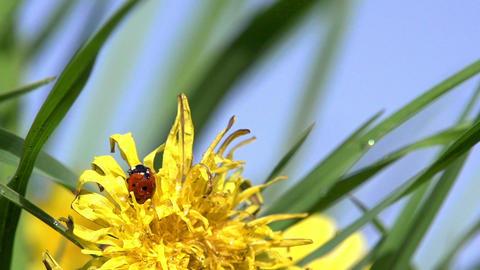 Ladybug on Dandelion Footage