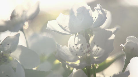Blossoming Footage
