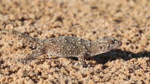 Bibron gecko 03 Footage
