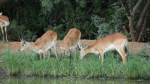 Grazing red lechwe antelopes Footage