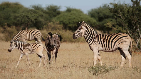 Plains Zebras and foal Footage