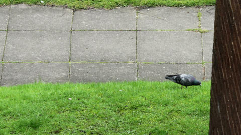 Pigeons looking for food on an urban lawn Live Action
