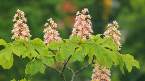 blooming chestnut moving in the wind a Footage