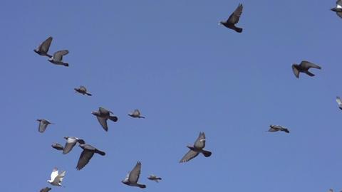 Flock of Pigeons in the Sky Footage