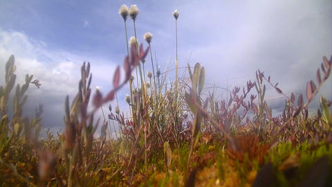 tundra, marsh area of the North with cotton grass Footage