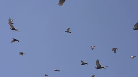 Flock Of Birds stock footage