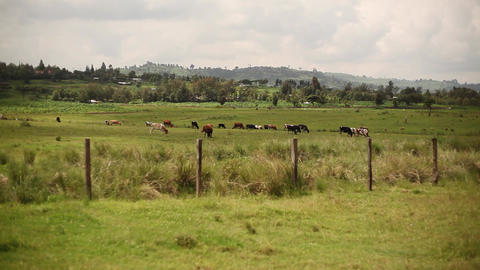 Field With Cows stock footage