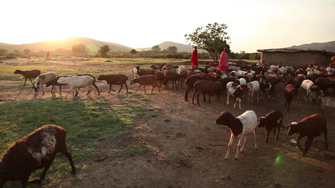 Maasai and goats sunset Footage
