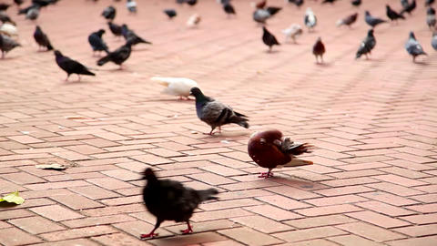 Pigeons On Bricks stock footage