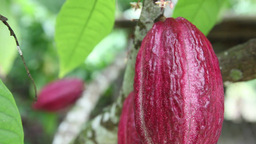 cocoa plant Stock Video Footage