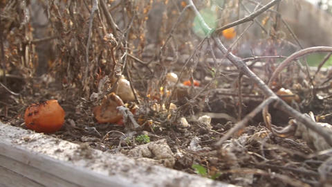 Tomato Dead Dolly Low stock footage