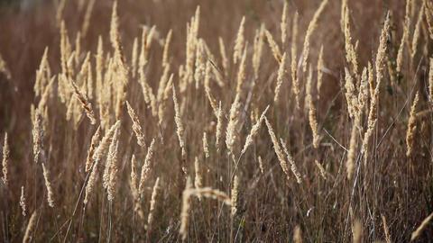 Dried grass prairie Loop ready File Footage