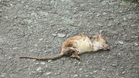 Dead rat Footage