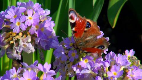 Butterfly on a purple flower Footage