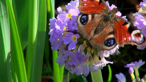 Butterfly on a purple flower Footage